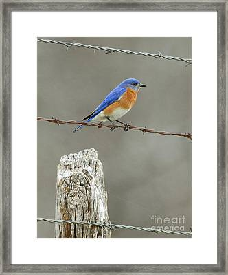 Blue Bird On Barbed Wire Framed Print