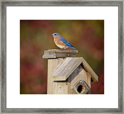 Blue Bird Framed Print by Robert Pearson