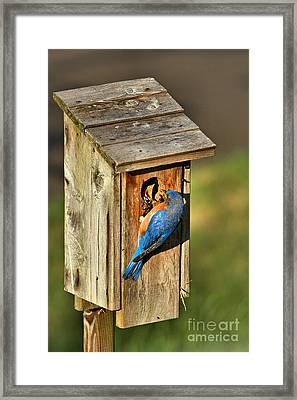 Bluebird Feeding Time Framed Print by Adam Jewell