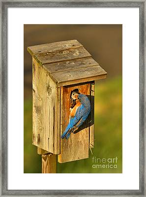 Blue Bird Feeding His Young Framed Print