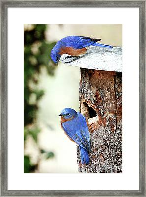 Blue Birds Are Moving In Framed Print