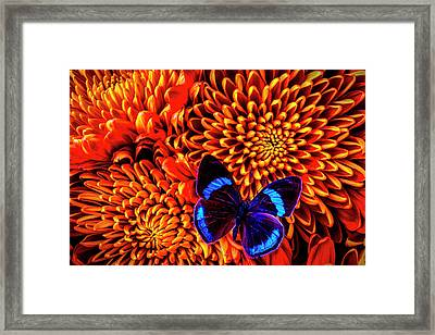 Blue Black Butterfly On Mums Framed Print