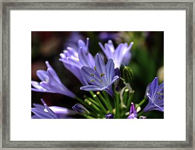 Framed Print featuring the photograph Blue Blossoms by Richard Stephen
