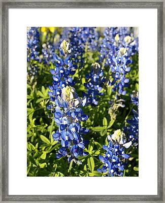 Blue Bonnets Framed Print by James Granberry
