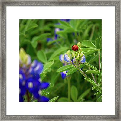 Texas Blue Bonnet And Ladybug Framed Print