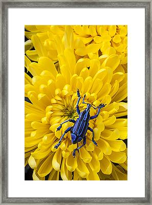 Blue Bug On Yellow Mum Framed Print by Garry Gay