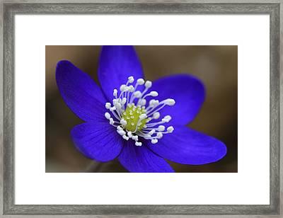Blue Buttercup Framed Print