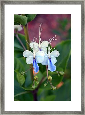 Blue Butterfly Framed Print by Aimee L Maher Photography and Art Visit ALMGallerydotcom
