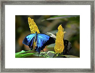 Blue Beauty Butterfly Framed Print