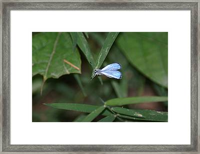 Blue Butterfly Framed Print by Heather Green