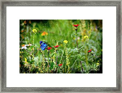 Blue Butterfly In Meadow Framed Print