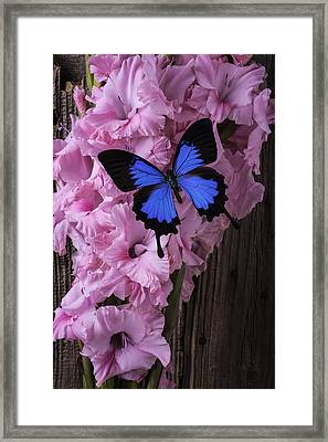 Blue Butterfly On Glads Framed Print by Garry Gay