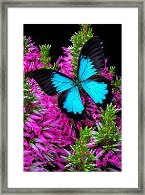 Blue Butterfly On Heather Framed Print
