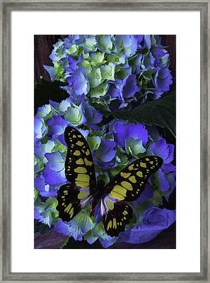 Blue Butterfly On Hydrangea Framed Print by Garry Gay