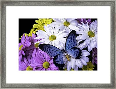 Blue Butterfly On Mixed Mums Framed Print by Garry Gay