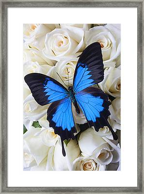 Blue Butterfly On White Roses Framed Print
