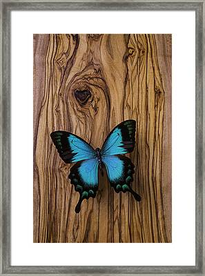 Blue Butterfly On Wood Grain Framed Print by Garry Gay