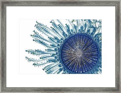 Blue Button Jellyfish Framed Print