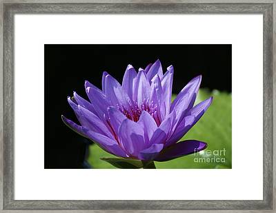 Blue Centered Blue Water Lily   # Framed Print by Rob Luzier