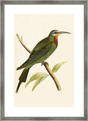 Blue Cheeked Bee Eater  Framed Print