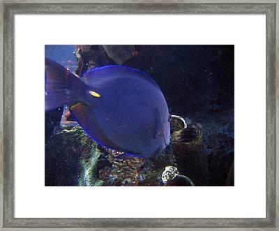 Blue Color Fish Framed Print by Suhas Tavkar