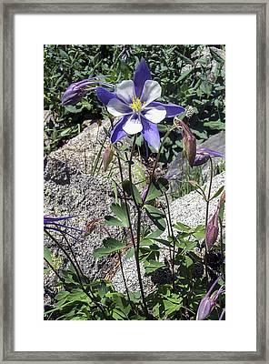 Blue Columbine Colorado Mountains Framed Print