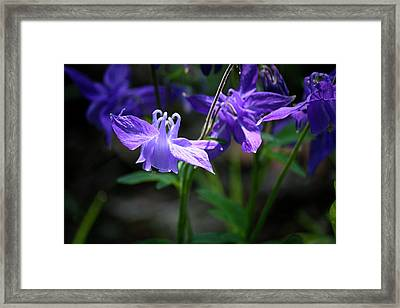 Blue Columbines Framed Print by Teresa Mucha