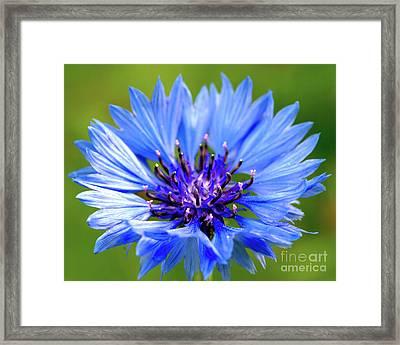 Blue Cornflower Framed Print