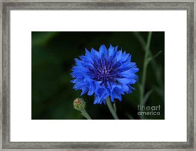 Blue Cornflower Framed Print by Marjorie Imbeau