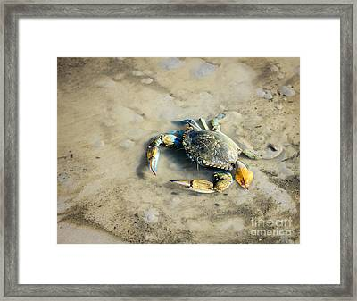 Framed Print featuring the photograph Blue Crab by Sandy Adams