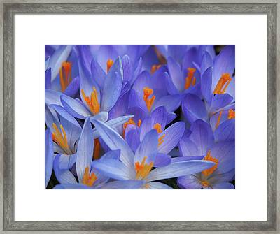 Blue Crocuses Framed Print