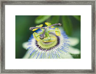 Blue Crown Passiflora Caerulea Passion Flower Framed Print by Sharon Mau
