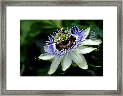 Blue Crown Passion Flower Framed Print