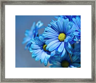 Blue Daisies Framed Print by Jody Trappe Photography