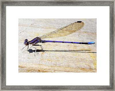 Framed Print featuring the photograph Blue Damselfly by Margie Avellino