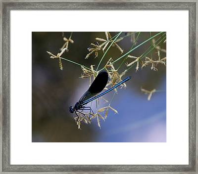 Blue Damsfly Framed Print