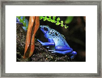 Blue Dart Frog Framed Print