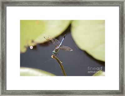 Blue Dasher Dragonfly Framed Print by David Grant