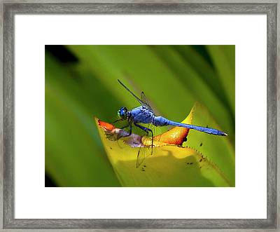 Blue Dasher Dragonfly Framed Print by Sandra Anderson