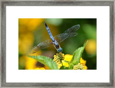 Blue Dasher Framed Print by Kathy Gibbons