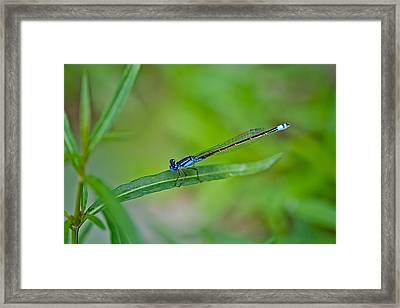 Blue Dragonfly Framed Print by Az Jackson
