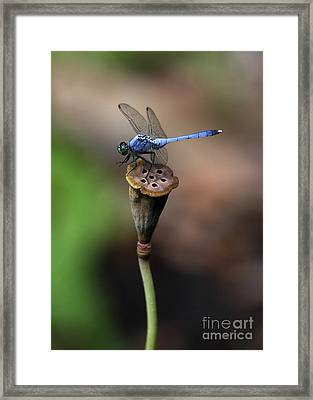Blue Dragonfly Dancer Framed Print by Sabrina L Ryan