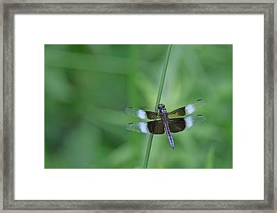 Blue Dragonfly Framed Print by Tina B Hamilton
