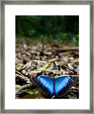 Blue Emperor Framed Print by Sarita Rampersad