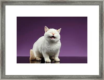 Blue Eyed British Kitten Meowing On Purple  Framed Print by Sergey Taran