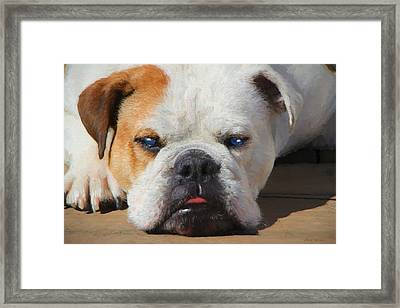 Blue-eyed English Bulldog - Painting Framed Print