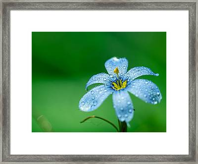 Blue Eyed Grass Flower Framed Print