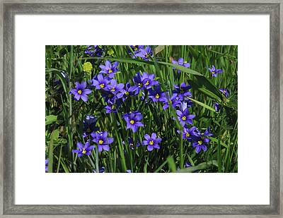 Blue Eyed Grass Framed Print by Robyn Stacey