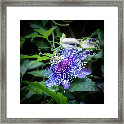 Blue Eyed Susan Passion Flower Framed Print