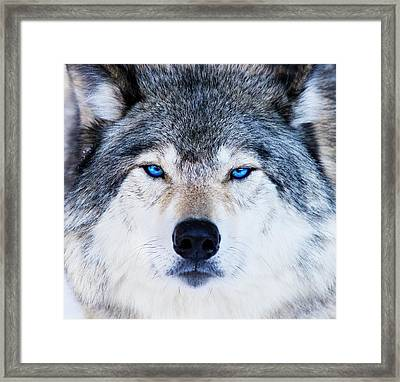 Framed Print featuring the photograph Blue Eyed Wolf Portrait by Mircea Costina Photography